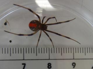 セアカゴケグモの画像 p1_25