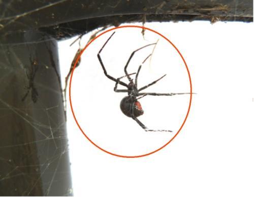 セアカゴケグモの画像 p1_20