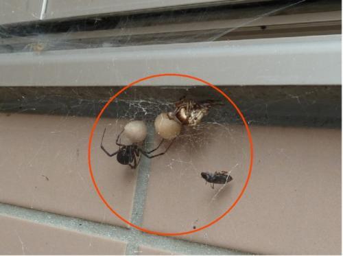 セアカゴケグモの画像 p1_10